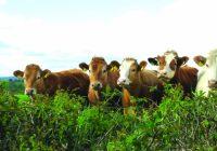 До крајот на месецот ќе им се исплати на сточарите за заболените животни од јазлеста кожа