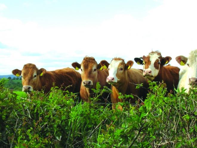 Photo of До крајот на месецот ќе им се исплати на сточарите за заболените животни од јазлеста кожа