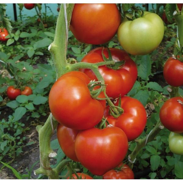 Photo of Годинава ќе јадеме вкусни и сочни домашни домати