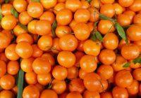 Хрватите со рекордно производство на мандарини – се плашат дека нема кој да ги купи