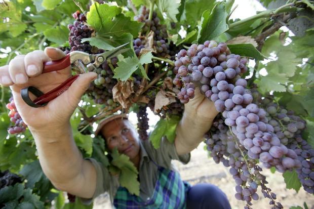 Photo of Почнаа првите берби на десертно грозје во Тиквешијата