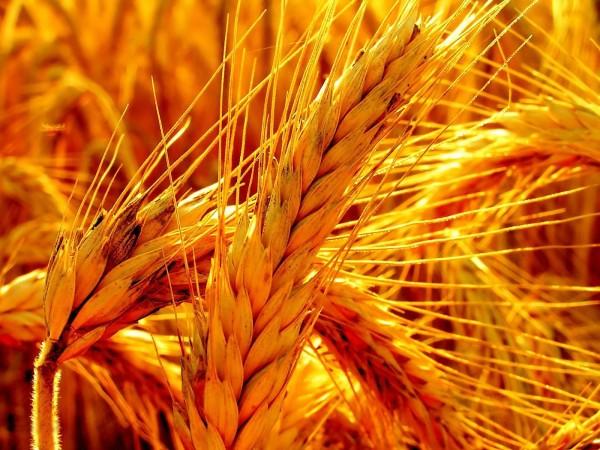 Photo of Сеидбата на житни култури со меркантилно семе, од 2018 нема да се субвенционира