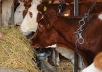 Болеста јазлеста кожа не го намали интересот за одгледување говеда – Сточниот фонд постојано расте