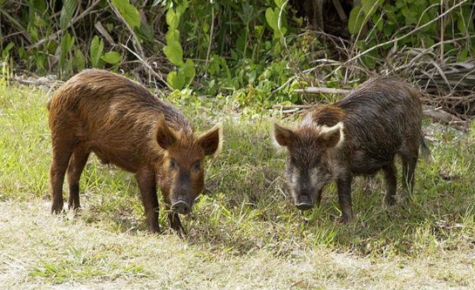 Photo of Диви свињи пустошат ниви во Дебарско