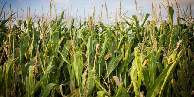 Photo of Нивите со пченка во Пелагонија бележат раст на приносите од рекордни 124 отсто