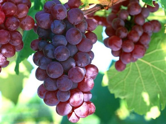 Photo of Десертното грозје од Тиквешко го освојува и пазарот во Романија