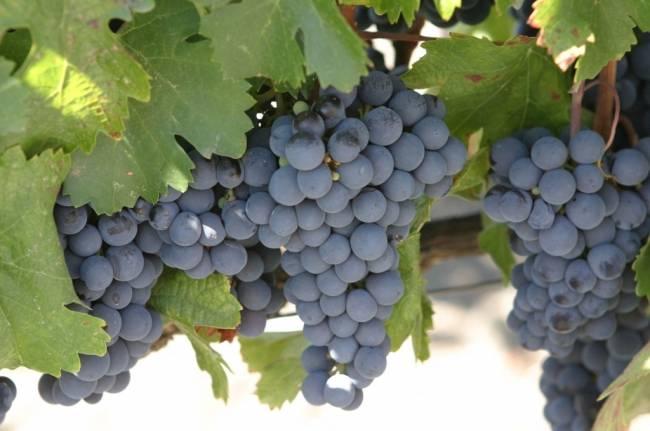 Photo of Дождовите ја намалија шеќерноста кај грозјето