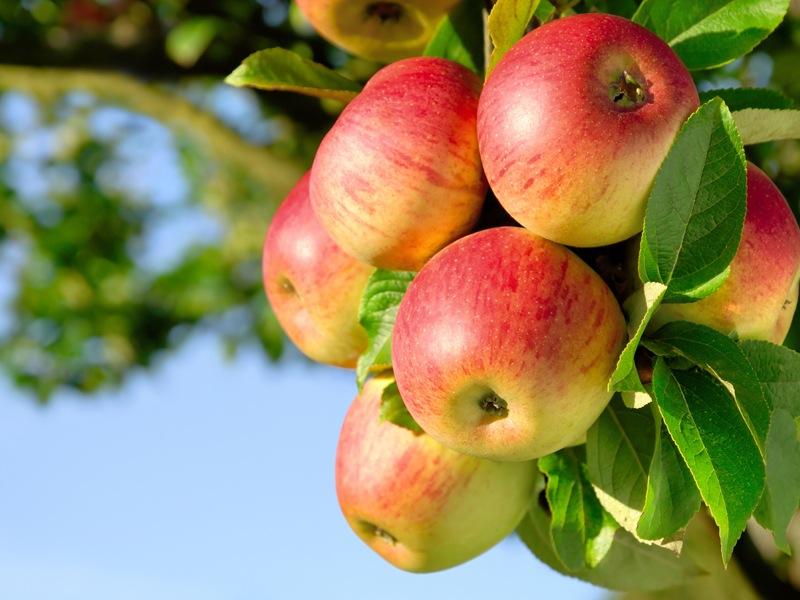 Photo of Почнува бербата: Ќе се откине првото јаболко