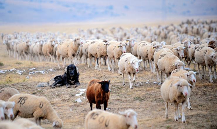 Photo of Пред Курбан Бајрам во Дебар грло овен до 150 евра