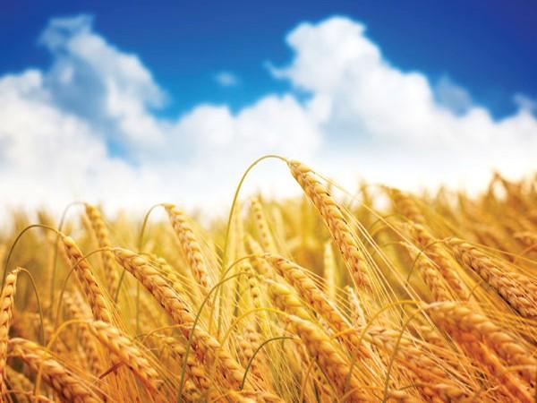 Photo of Рускиот извоз на пченица не одговори на очекувањата