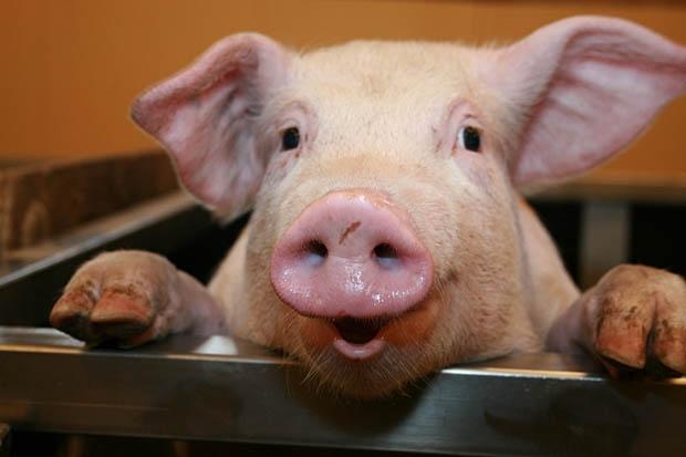 Photo of Српското прасе конечно на европска трпеза