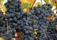 """Три денари субвенции за килограм откупено грозје """"вранец"""" ќе добиваат винариите"""