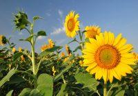 Велешка Маслодајна започна со откуп на сончогледот