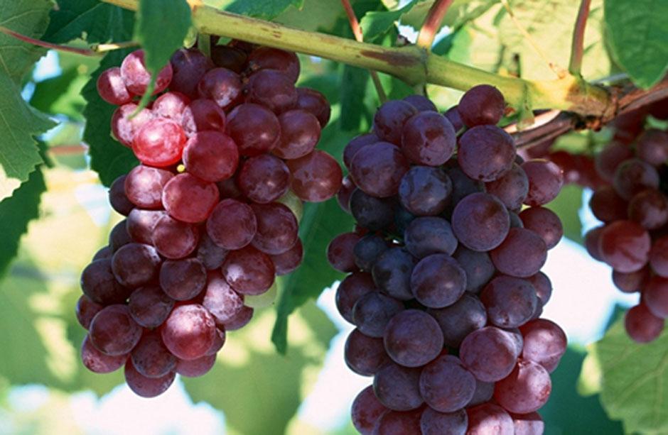 Photo of Законски измени за полесна наплата на грозјето