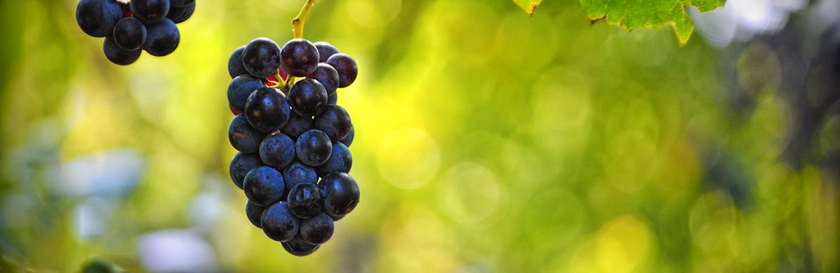 Photo of Зголемувањето на производството на флаширано вино може да го подобри лозарството