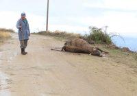 Глутници волци нападнале стадо крави и говеда во кочанското село Пресека