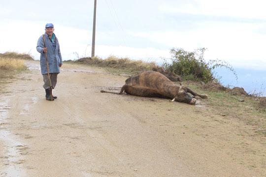 Photo of Глутници волци нападнале стадо крави и говеда во кочанското село Пресека