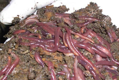 Photo of Kалифорниски црви за бизнис и за поздрава средина