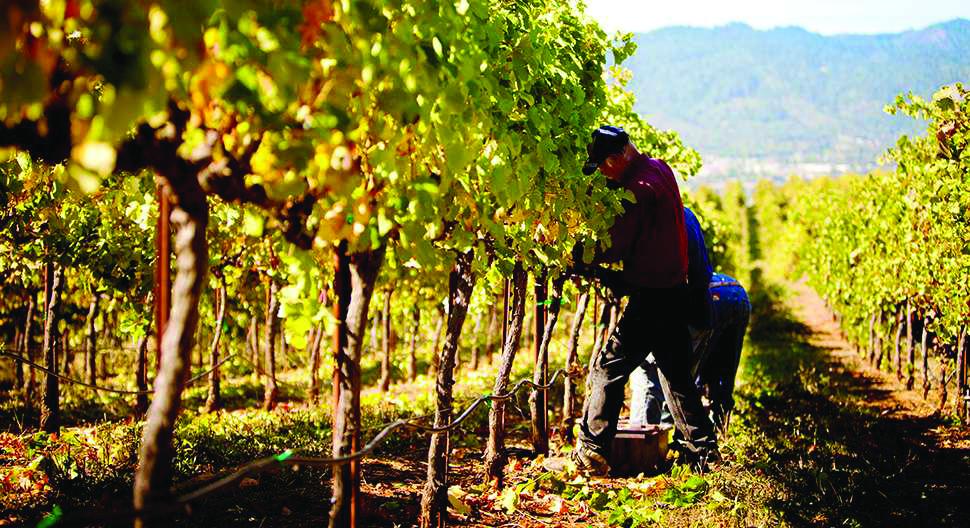 Photo of Македонците берат грозје во италијанските лозја