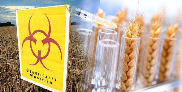 Photo of Германија забранува ГМО жита