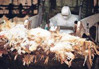 Опасноста од подзаборавената болест Птичји грип се врати на голема врата