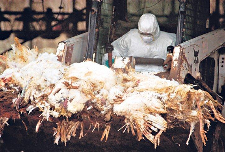 Photo of Опасноста од подзаборавената болест Птичји грип се врати на голема врата