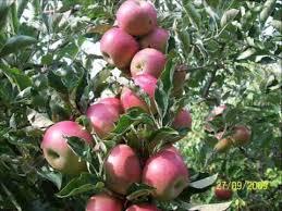 Photo of Се намалуваат насадите на тетовски јаболка
