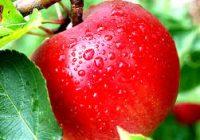 Знаете ли како најдобро се чуваат јаболката?