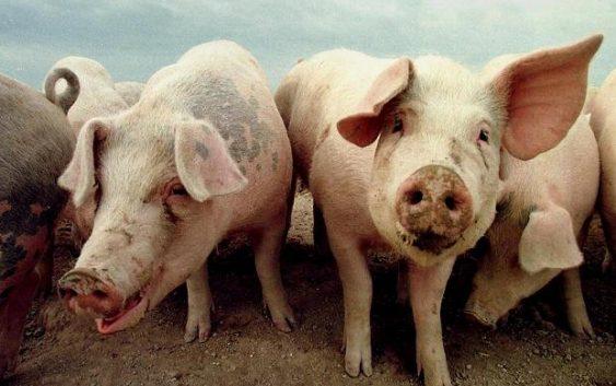 Данските свињи заразени со бактеријата ЛА-МРСА, која е отпорна на антибиотици