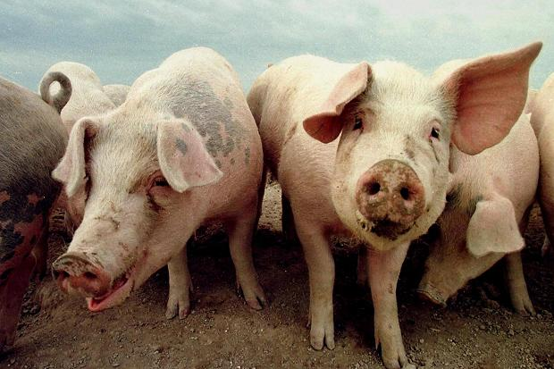 Photo of Данските свињи заразени со бактеријата ЛА-МРСА, која е отпорна на антибиотици