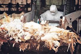 najvisoko nivo na trevoga poradi epidemija na ptichji grip