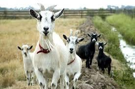 Photo of Закуп на земјиште за одгледување кози