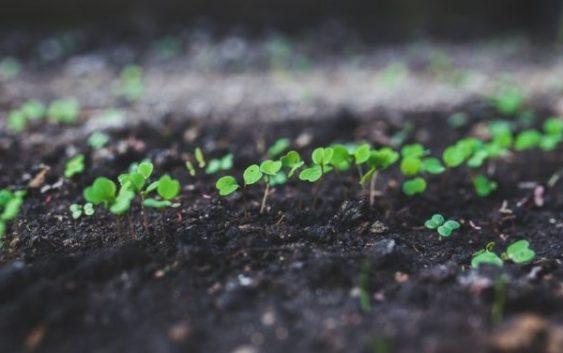 Оваа билка гарантира профит: Лесно се одгледува, а уште полесно се продава!