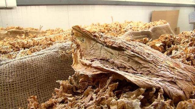 Photo of Тутун: Откупени 90 проценти од годинашната реколта