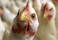 Во Хрватска е регистриран птичји грип