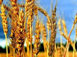 Photo of Црвена рѓа, опасна болест ја напаѓа пченицата во регионот