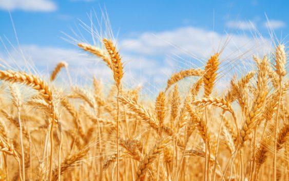 ССК: Земјоделците да внимаваат какви  сорти ќе одберат за претстојната сеидба