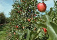Измрзнаа јаболката, тутунот, лозјето- земјоделците и без род и без субвенции