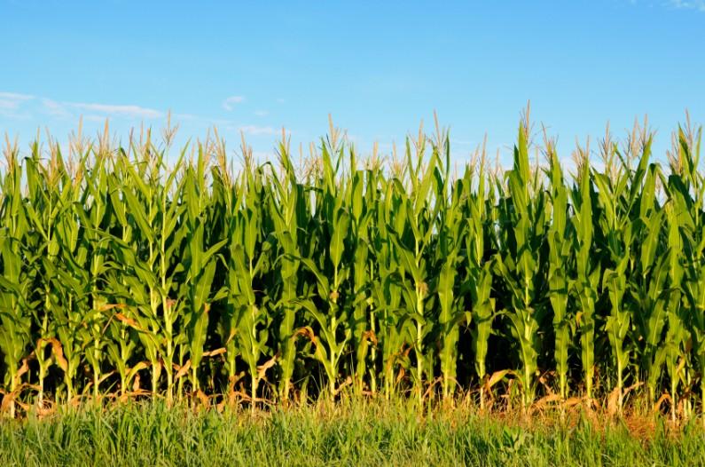 Photo of Во Виничко површините под ориз замементи со пченка