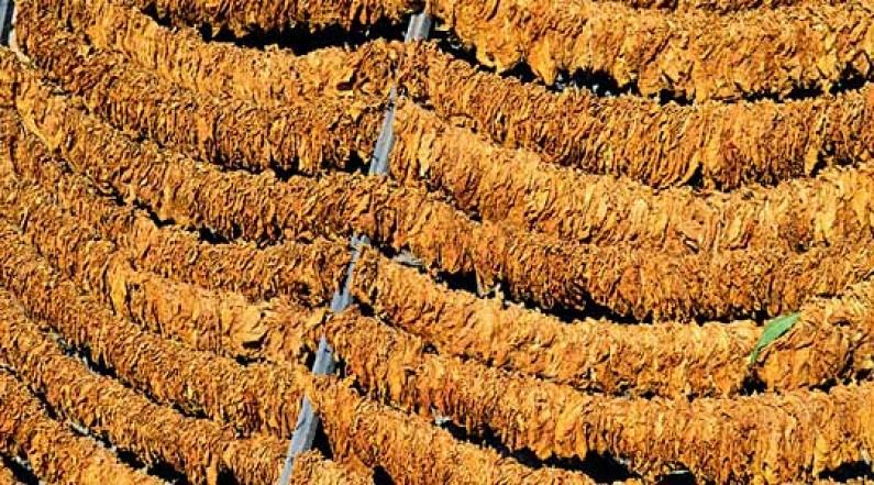 Photo of Зголемен бројот на тутунопроизводители во Струмичко