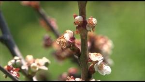 Photo of Уништени овоштарници со цреши