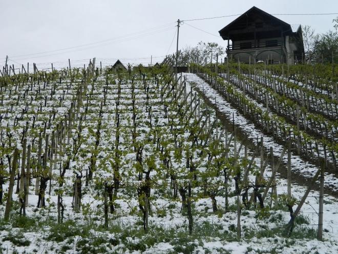 Photo of Мразот ги остави лозарите без лозје, а овоштарите без овошје