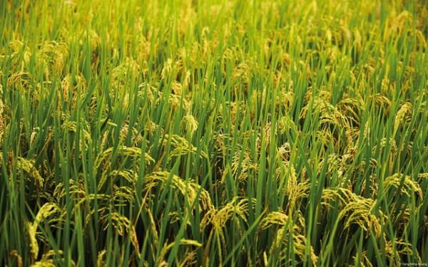 Photo of Зголемен раст на оризовото стебло и намалена појава на плевели во кочанско