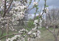Во Росоман поднесени 750 барања за надоместок на штети од пролетниот мраз