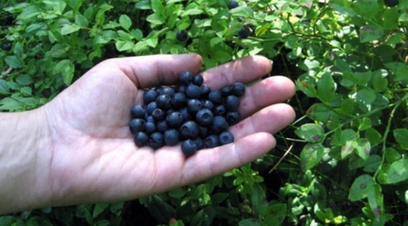 Photo of Почнаа подготовките за берба на боровинки и други шумски плодови во гевгелиско