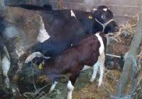 Исхрана на млечни крави