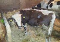 Одгледување на телиња