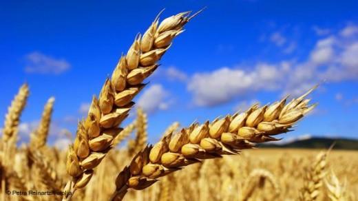 Photo of Намалени приносите на пченица и јачмен во Кумановско