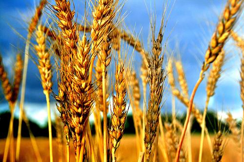 Photo of Николовски вети соодветни мерки за помош на производителите на пченица и јачмен