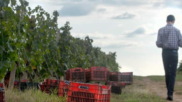 Photo of Најран почеток на бербата на грозје во Италија